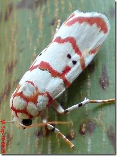 ngengat putih bergaris merah 10