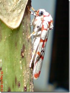 ngengat putih bergaris merah 16