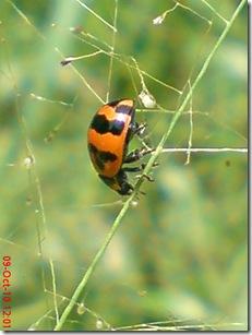 kumbang kepik 24