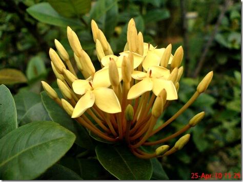 bunga siantan kuning 11