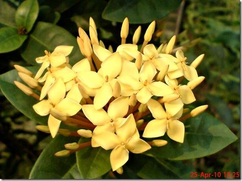 bunga siantan kuning 01