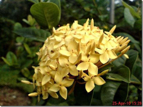bunga siantan kuning 10