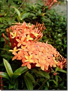 bunga siantan oranye 01