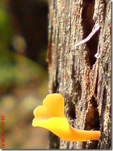 jamur kuning 40
