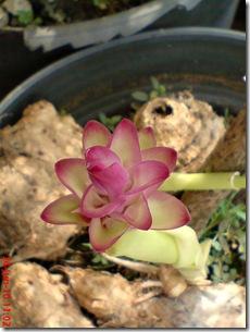 bunga temulawak 07