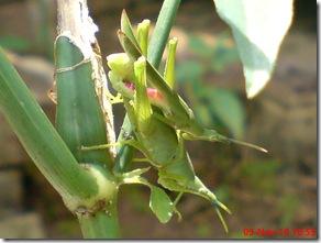 belalang hijau kawin tampak belakang 05
