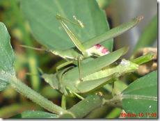 belalang hijau kawin tampak belakang 28