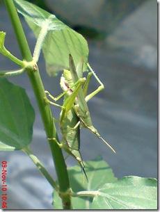belalang hijau kawin tampak belakang 01