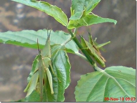 2 pasang belalang hijau kawin 12