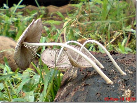 jamur seperti payung layu 17