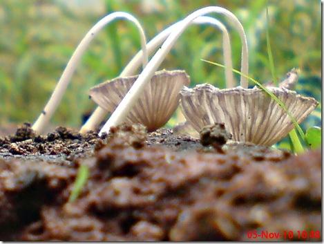 jamur seperti payung layu 24