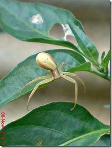 laba-laba angkat tangan 14