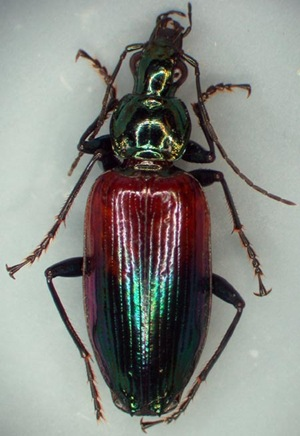 Onypterigia tricolor beetle have only one testis