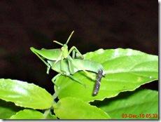 belalang berak