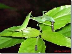 belalang berak 5