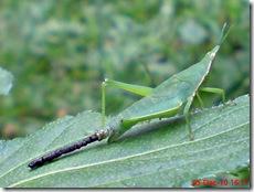 belalang berak 2