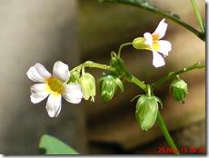 Oxalis barrelieri-Belimbing Tanah-Lavender sorrel 01