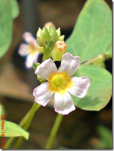 Oxalis barrelieri-Belimbing Tanah-Lavender sorrel 31