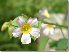 Oxalis barrelieri-Belimbing Tanah-Lavender sorrel 10