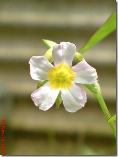Oxalis barrelieri-Belimbing Tanah-Lavender sorrel 24