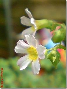 Oxalis barrelieri-Belimbing Tanah-Lavender sorrel 28