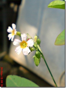 Oxalis barrelieri--Lavender sorrel-Belimbing Tanah 01