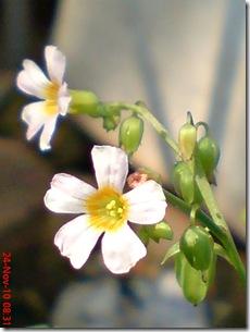 Oxalis barrelieri--Lavender sorrel-Belimbing Tanah 02