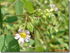 Oxalis barrelieri--Lavender sorrel-Belimbing Tanah 16