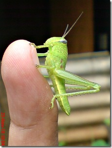 anak belalang berwarna hijau 05