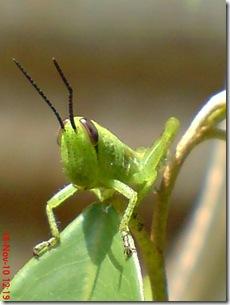 wajah belalang warna hijau 09