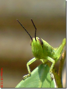 wajah belalang warna hijau 10