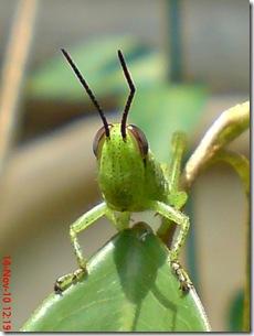 wajah belalang warna hijau 07