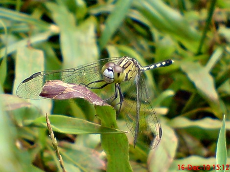Capung Chalky percher - Diplacodes trivialis - female