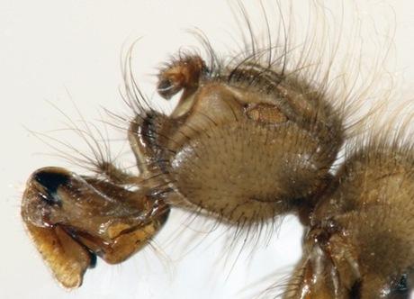 Mormotomyia hirsuta żyje w jaskiniach w ścisłym powiązaniu z pewnym gatunkiem nietoperzy – rozmnaża się w odchodach tych ssaków