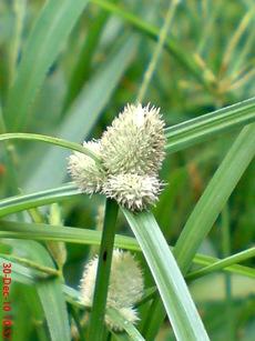 rumput whitehead spikesedge Kyllinga nemoralis 4