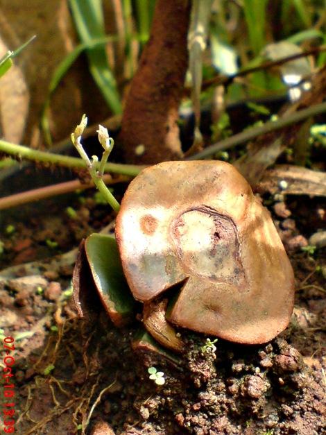 tunas jengkol Archidendron pauciflorum