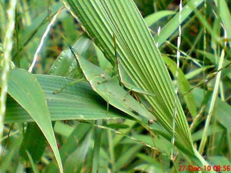 belalang hijau kawin di rumput bambuan 6