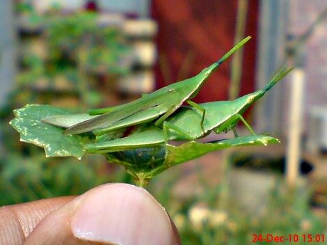 belalang hijau kawin di daun pegagan 3