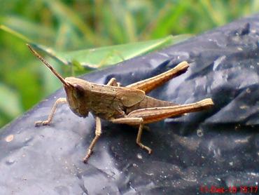 belalang coklat Phlaeoba fumosa 14