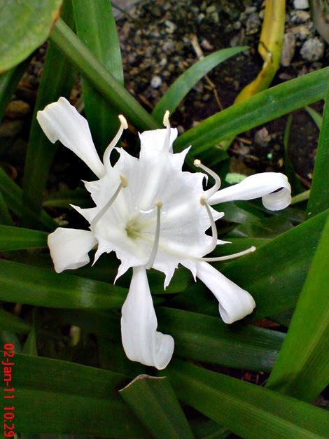 Bunga White Spider Lily Pancratium zeylanicum