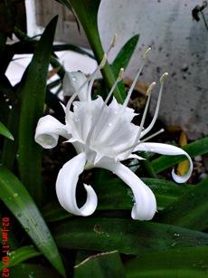 Bunga putih di halaman depan rumah di kampung gedong 7