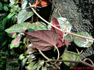 sirih merah Piper crocatum 1