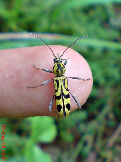 Chlorophorus annularis - Bamboo Longhorn Beetle - Bamboo Tiger 11