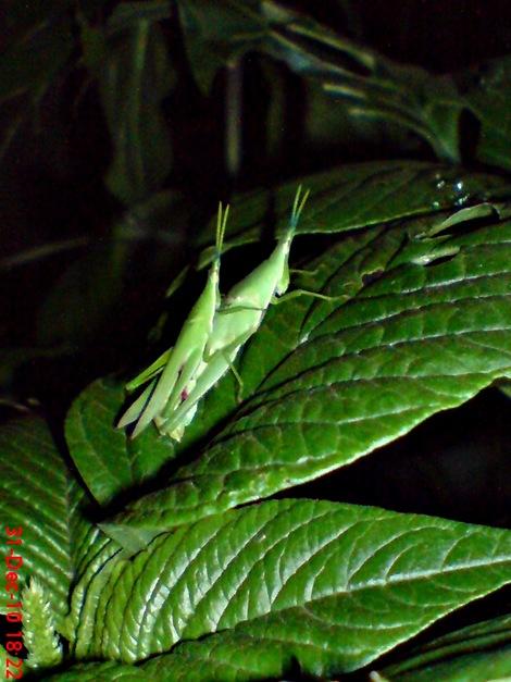 belalang hijau kawin 2