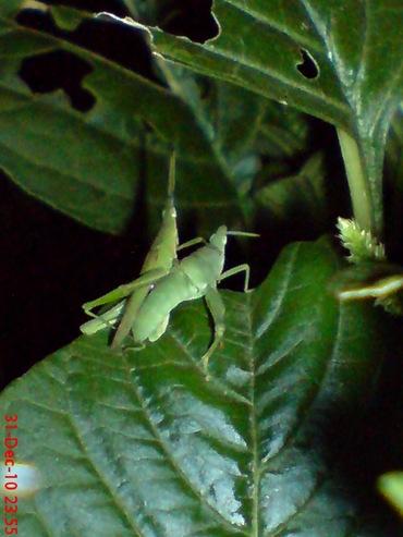belalang hijau kawin di malam tahun baru 4