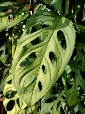Swiss Cheese Plant_Monstera adansonii 1