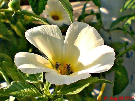 white alder Turnera subulata bunga pukul delapan 02