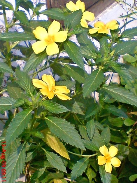yellow Turnera ulmifolia 05