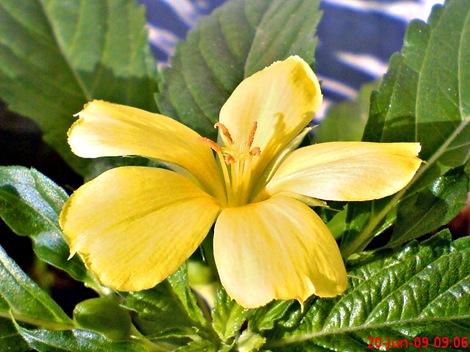 yellow Turnera ulmifolia 02