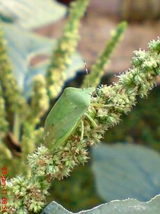 Nezara viridula_green vegetable bug_kepik hijau 09
